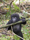 Mountain Gorilla, Youngster at Play, Rwanda Fotografisk tryk af Mike Powles