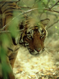 Bengal Tiger, 24 Month Female, India Photographic Print by Mike Powles