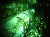 Giant Kelp Forest, California, USA Photographic Print by Tammy Peluso