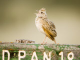 Clapper Lark, Male Singing at Song Post, Botswana Photographie par Mike Powles