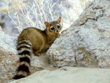 Ringtail Cat, USA Photographic Print by Wendy Shattil &amp; Bob Rozinski