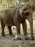 Asian Elephant, with One Day Old Baby, India Fotografisk tryk af Mary Plage