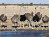 Ostrich, Male and Females Drinking, Botswana Photographic Print by Mike Powles