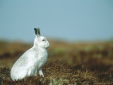 Mountain Hare or Blue Hare, Conspicuous with No Snow, Scotland, UK Photographic Print by Richard Packwood