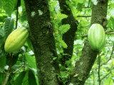 Alastair Shay - Cocoa, Pods in a Plantation, Tobago Fotografická reprodukce