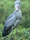 Shoebill in Habitat, Uganda Fotografisk tryk af Mike Powles