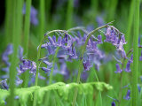 Bluebells, Inverness-Shire, Scotland Photographic Print by Iain Sarjeant