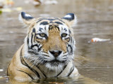 Bengal Tiger, Female in Water, India Fotografisk tryk af Mike Powles