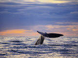 Sperm Whale, Raising Flukes, New Zealand Photographic Print by Gerard Soury