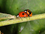 2-Spot Ladybirds, Adults Mating, Kent, UK Photographic Print by Keith Porter