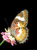 Lacewing Butterfly, Cethosia Biblis Photographic Print by Mike Slater