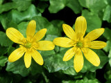 Lesser Celandine, Ross-Shire, Scotland Photographic Print by Iain Sarjeant