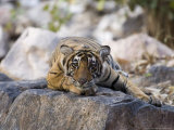 Bengal Tiger, 10 Month Old Cub Lying, India Fotografisk tryk af Mike Powles