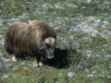 Musk Ox, Dovorfjell, Norway Fotografisk tryk af Mary Plage