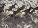 Burchells Zebra, Group from Above, Botswana Photographic Print by Mike Powles
