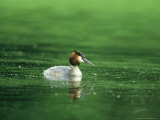 Great Crested Grebe, Swimming, Gloscestershire Photographie par Mike Powles