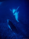 Humpback Whale, Mother and Calf, Polynesia Photographic Print by Gerard Soury