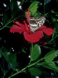 Citrus Swallowtail, Feeding from Hibiscus Rosa Sinensis, the Gambia Photographic Print by Alastair Shay