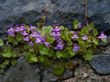 Ivy-Leaved Toadflax Growing in Wall, Isle of Iona, Scotland Photographic Print by Iain Sarjeant