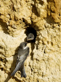 Sand Martin, Adult at Nest Site with Juvenile at Entrance Hole, Norfolk, UK Photographic Print by Mike Powles