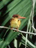 Rufous Backed Kingfisher, Ujung Kulon, Indonesia Fotografisk tryk af Mary Plage