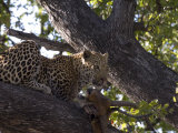 Leopard, Male with Kill in Tree, Botswana Photographic Print by Mike Powles