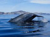 Blue Whale, Raising Fluke, Sea of Cortez Photographic Print by Gerard Soury