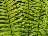 Male Fern, Inverness-Shire Photographic Print by Iain Sarjeant