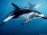 Dusky Dolphin, Underwater, New Zealand Fotografisk trykk av Gerard Soury