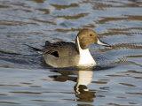Pintail, Male in Breeding Plumage, UK Fotografisk tryk af Mike Powles