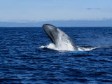 Blue Whale, Breaching, Azores, Portugal Photographic Print by Gerard Soury