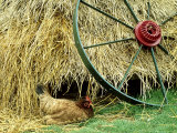 Old Farm Wheel and Hen, Orkney Islands, Scotland Photographic Print by Iain Sarjeant