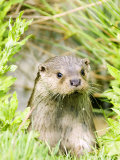 Otter Adult Emerging from Water, UK Photographic Print by Mike Powles