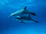 Atlantic Spotted Dolphins, Bahamas, Caribbean Fotografisk trykk av Gerard Soury