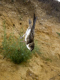 Sand Martin in Mist Net in Front of Nest Holes, UK Photographic Print by Mike Powles
