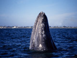 Grey Whale, Spyhopping, Baja Calif Photographic Print by Gerard Soury