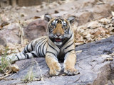 Bengal Tiger, 10 Month Old Cub, India Photographic Print by Mike Powles