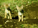 Black-Backed Jackal, Pups, Masai Mara, Kenya Photographie par Mike Powles