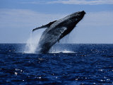 Humpback Whale, Breaching, Sea of Cortez Photographic Print by Gerard Soury