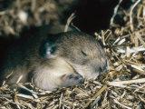 Pika, Baby in Nest, USA Fotografisk tryk af Mary Plage