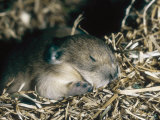 Pika, Baby in Nest, USA Photographic Print by Mary Plage