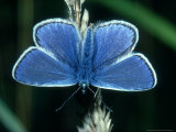 Common Blue, Male, Essex Photographic Print by Alastair Shay