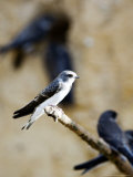 Sand Martin, Fledged Juvenile, UK Photographic Print by Mike Powles