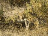 Leopard, Young Female Stalking, Kenya Fotografisk tryk af Mike Powles