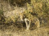 Leopard, Young Female Stalking, Kenya Photographic Print by Mike Powles