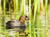 Little Grebe, Adult on Water, UK Papier Photo par Mike Powles