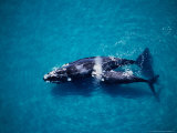 Southern Right Whale, Mother and Calf, Valdes Penins Photographic Print by Gerard Soury