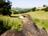 Common Buzzard, Adult Overlooking Countryside, UK Photographie par Mike Powles