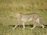 Cheetah, Female Striding, Maasai Mara, Kenya Photographic Print by Mike Powles