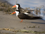 African Skimmer, Pair, Bostwana Photographie par Mike Powles